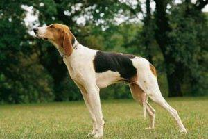 Russian Pinto Hound