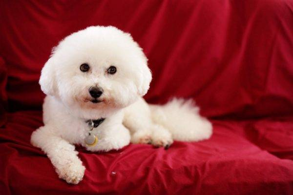 Bichon Frize (French lapdog)