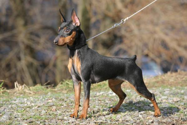 Miniature Pinscher (Miniature Pinscher)