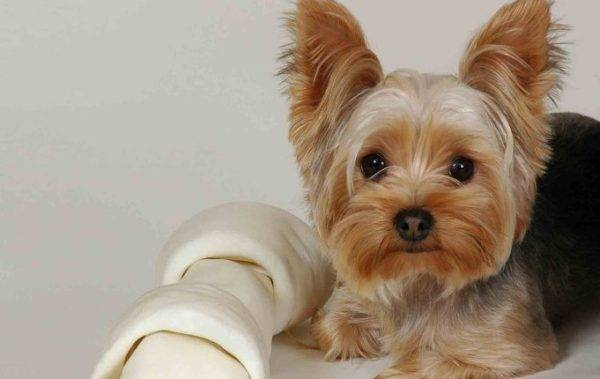 Yorkshire terrier บนโซฟา